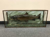 A taxidermy fish in display case - Salmon, length 119 cm.