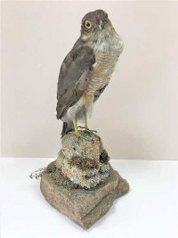 A Victorian taxidermy sparrowhawk on naturalistic stone plinth, height 35cm.