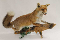A taxidermy fox on a wooden branch.