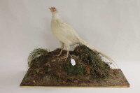 A taxidermy white pheasant on foliage base.