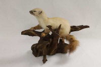 A taxidermy pine martin on a piece of wood.