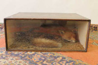 A taxidermy fox in display case, width 70 cm.