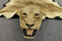 A taxidermy full length lioness skin, lined, length 260 cm.