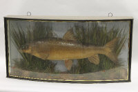 An Edwardian taxidermy Barbel, in naturalistic display case, the curved glass with indistinct gilded inscription 'Upper Thames, July 1900'. width 95.5 cm.